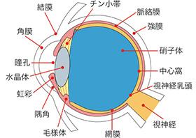 瞳の仕組み